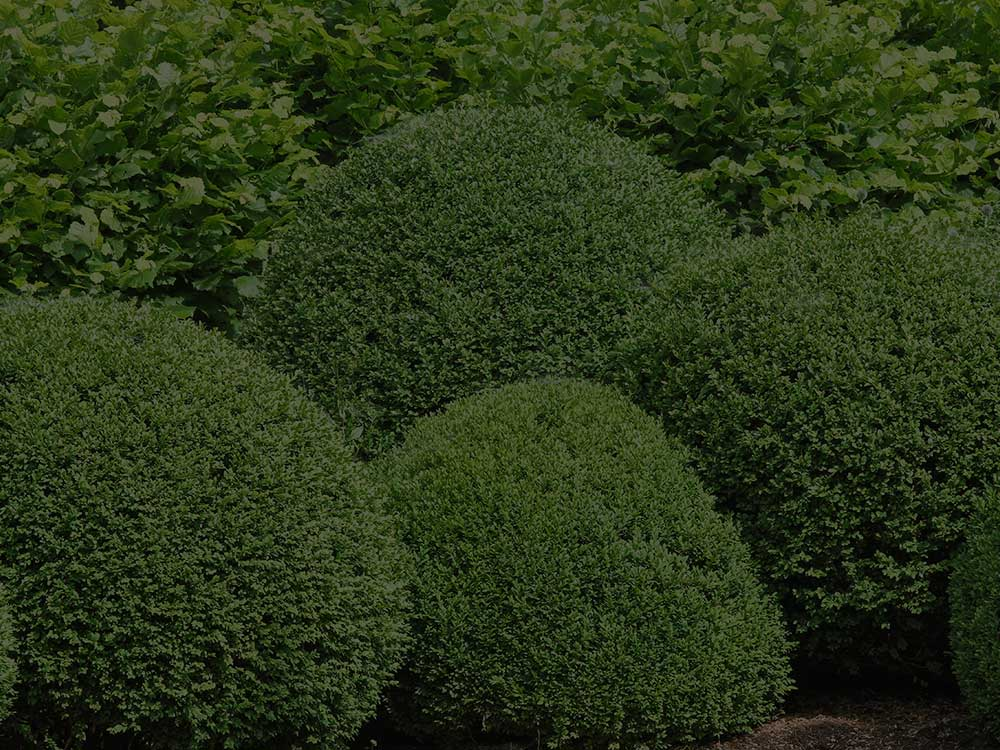 Cedar Shrubs and Hedges